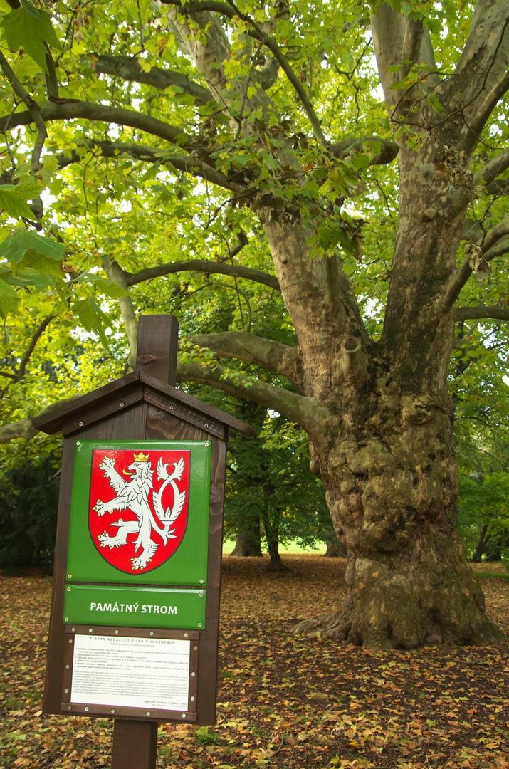 """Památný strom """"Platan nedaleko pítka v Lužánkách"""""""
