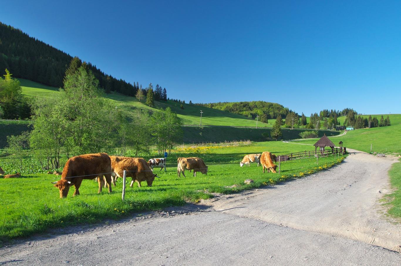 Krávy a pramen Hronu (ta budka vpravo)