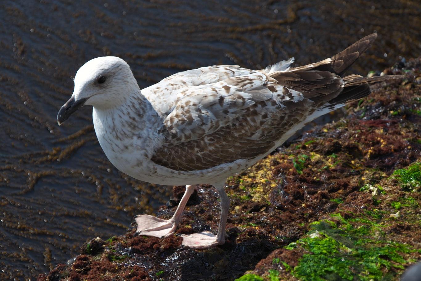 V Benátkách loudí o něco k snědku nejen holubi, ale i racci.
