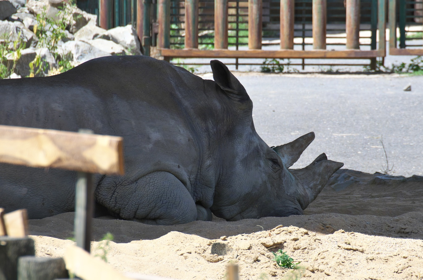 ZOO Ústí nad Labem, nosorožčice Zamba, která musela být pár týdnů po naší návštěvě utracena.