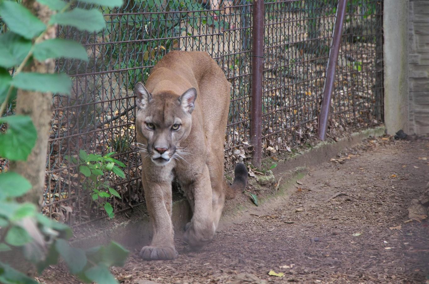 Zoopark Na Hrádečku, puma americká