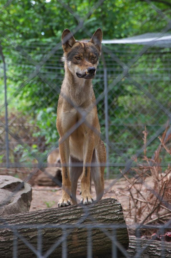 Zoopark Na Hrádečku, vlk euroasijský