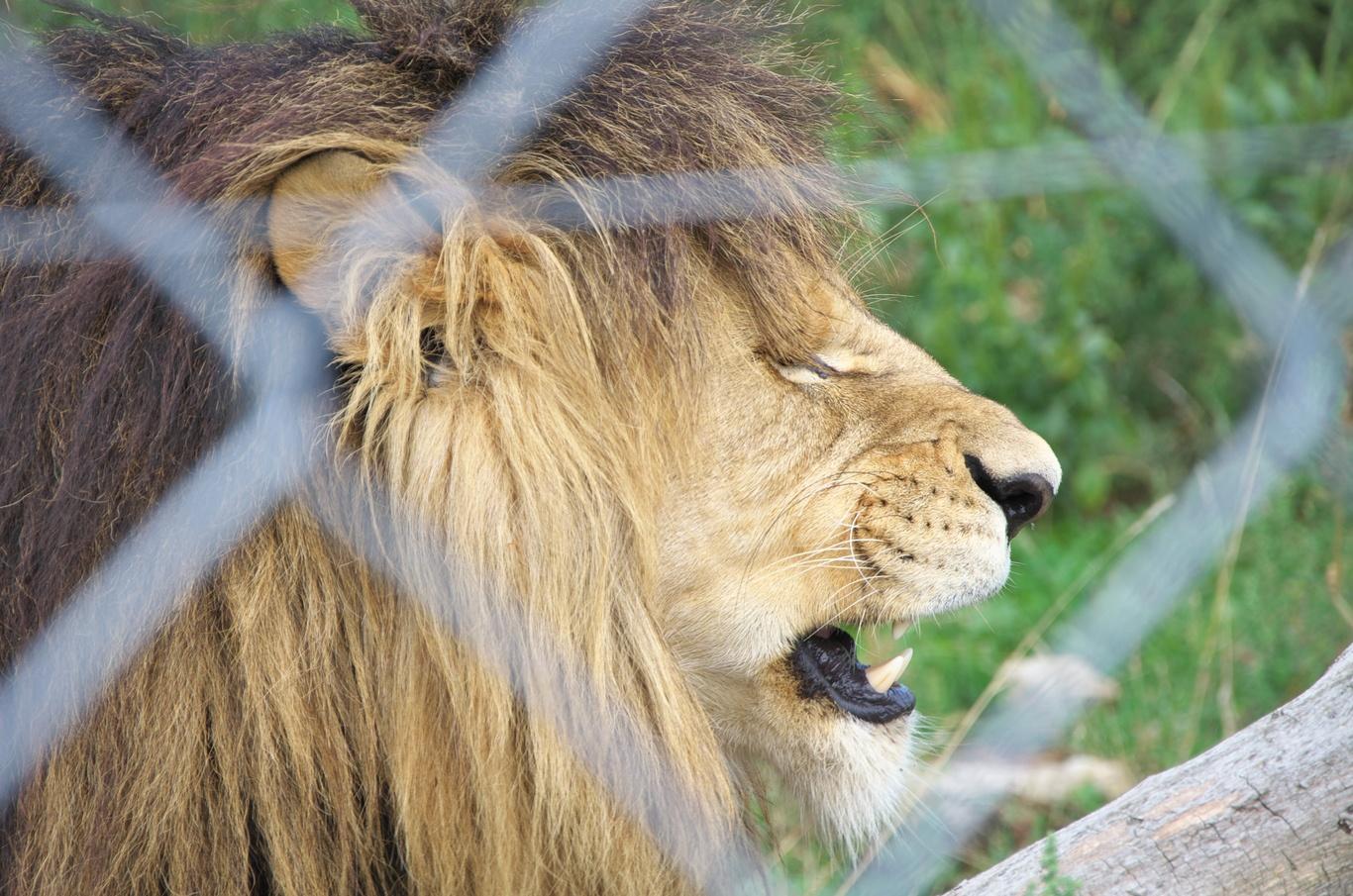 Zoopark Na Hrádečku, lev