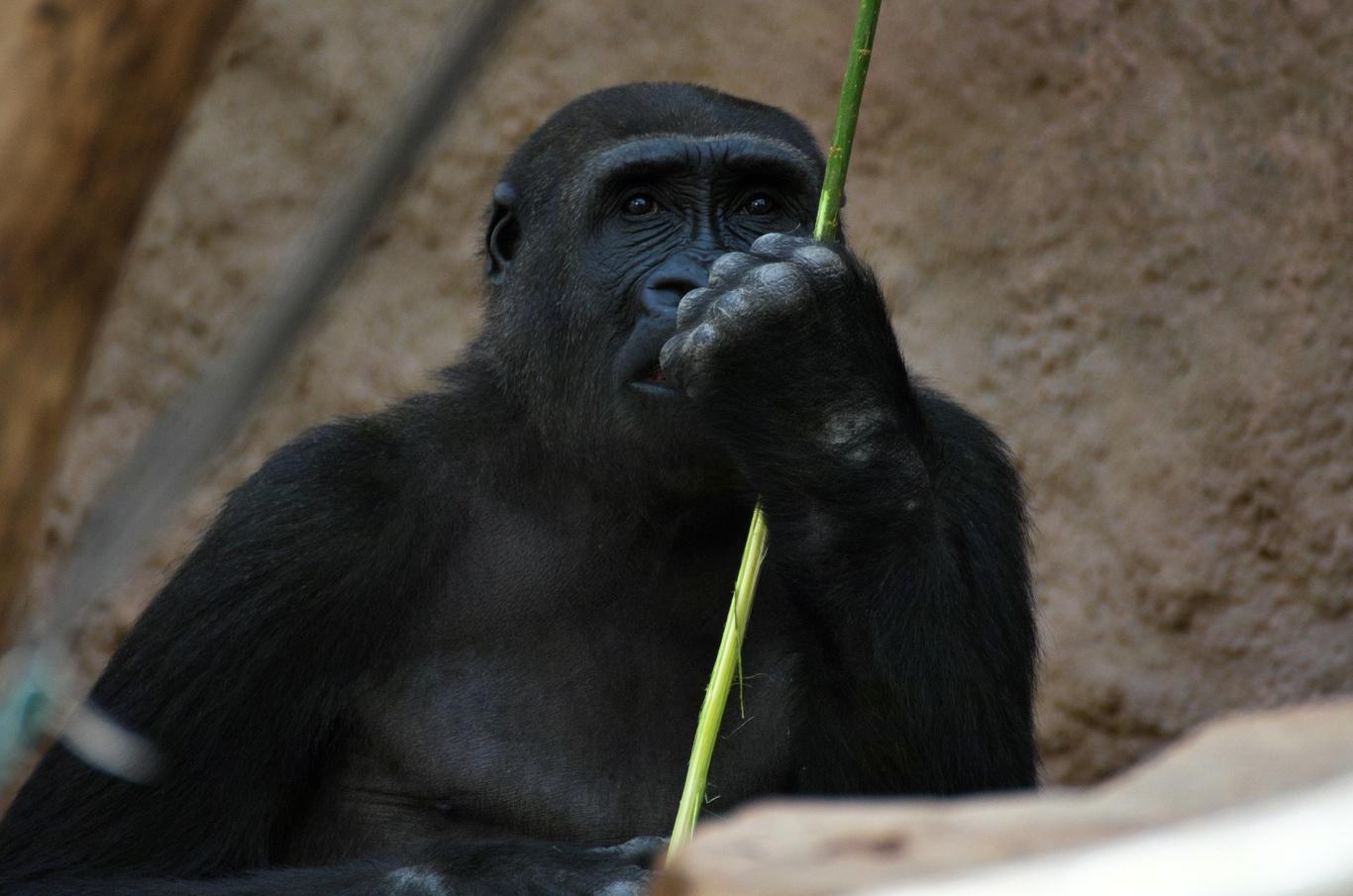 ZOO Praha, gorila