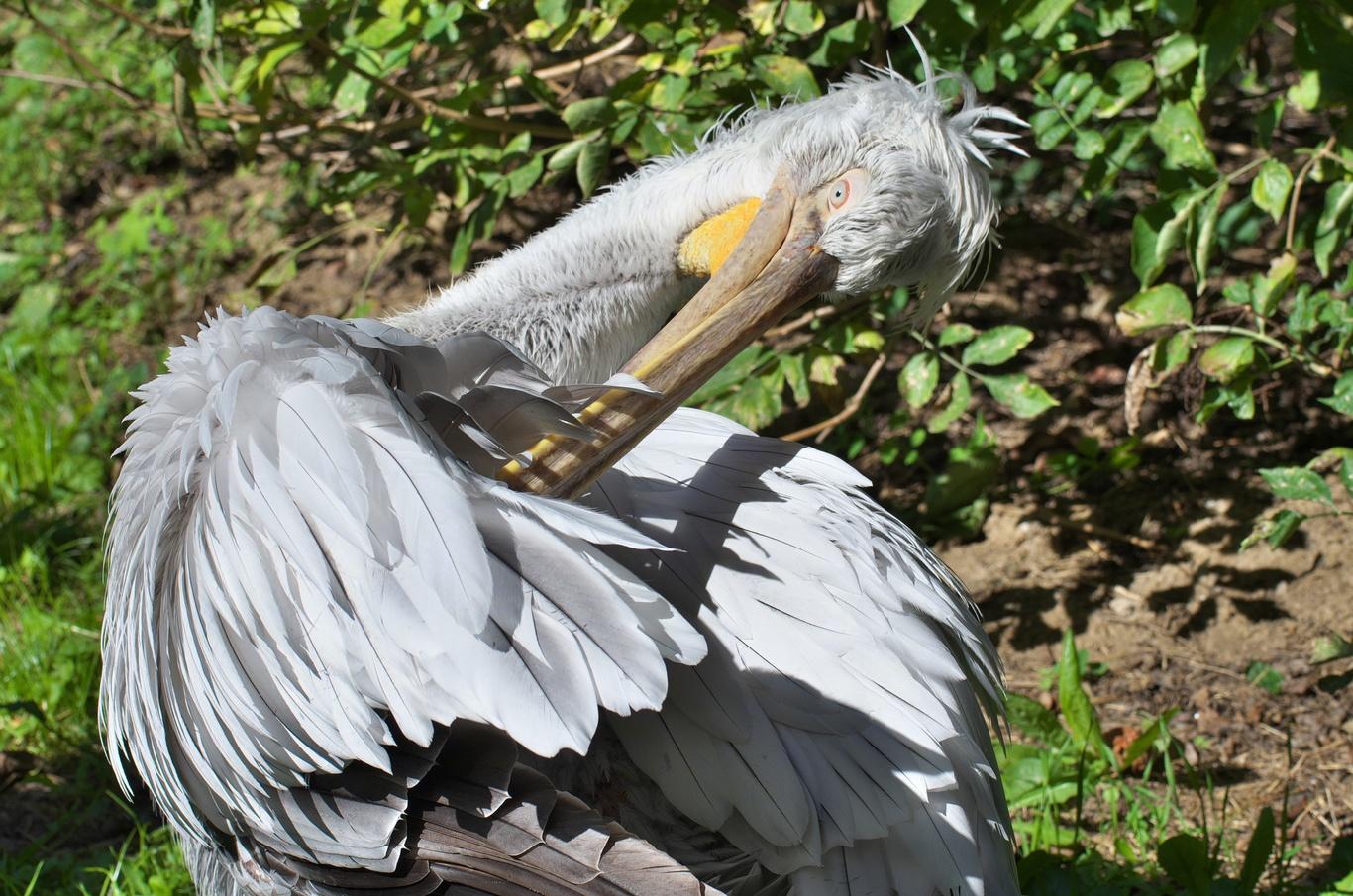 ZOO Praha, pelikán