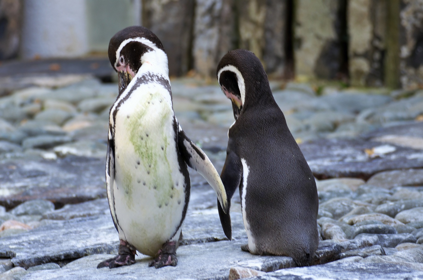 ZOO Praha, tučňák